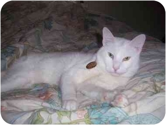Siamese Cat for adoption in Long Beach, New York - Mishue