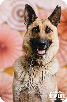German Shepherd Dog Dog for adoption in Portland, Oregon - Molly McButter