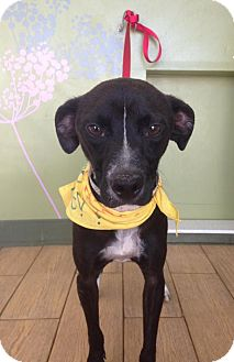 Whippet/Terrier (Unknown Type, Small) Mix Dog for adoption in Los Angeles, California - LEVI