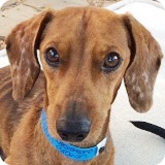 Dachshund Mix Dog for adoption in Houston, Texas - Orville Wright