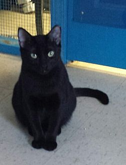 Domestic Shorthair Cat for adoption in Holden, Missouri - Evening Star