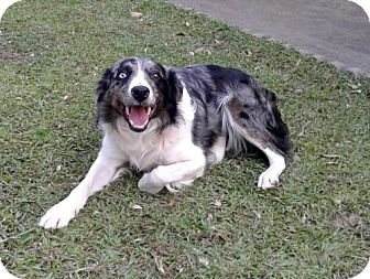 Australian Shepherd Mix Dog for adoption in Oxford, Connecticut - Rocky