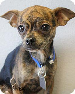 Chihuahua/Pug Mix Dog for adoption in Yukon, Oklahoma - Timpani