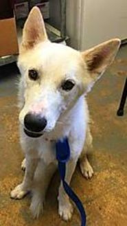 Husky Mix Dog for adoption in Brownwood, Texas - Zero(PAWS)