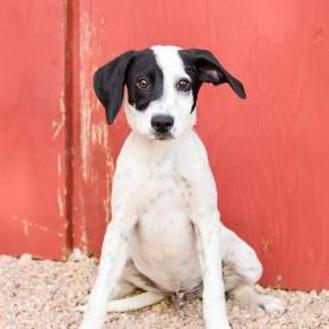 German Shorthaired Pointer/Labrador Retriever Mix Dog for adoption in Brighton, Colorado - 1062-16