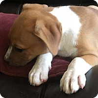 Adopt A Pet :: Puppy Libbie - Austin, TX