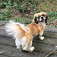 Adopt A Pet :: Bella - Little Rock, AR