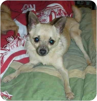 Chihuahua/Pomeranian Mix Dog for adoption in North Kansas City, Missouri - Adoption Pending