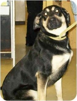 Shepherd (Unknown Type) Mix Dog for adoption in Murphysboro, Illinois - Celica