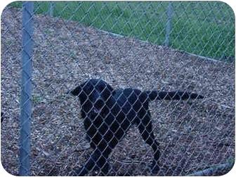Labrador Retriever/Border Collie Mix Dog for adoption in Woodland, Washington - Cannon - Fun-loving Fella