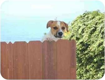 St. Bernard/Labrador Retriever Mix Dog for adoption in Chula Vista, California - Bruce