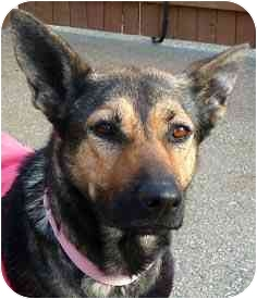 German Shepherd Dog Mix Dog for adoption in Carmel, New York - Penny