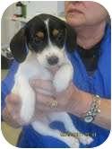 Dachshund Mix Puppy for adoption in Brookline, Massachusetts - Chloe ~Adoption Pending~