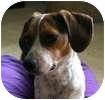 Beagle/Dachshund Mix Dog for adoption in Hamilton, Ontario - Slots