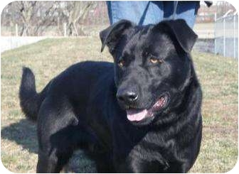 Labrador Retriever Mix Dog for adoption in Huntingburg, Indiana - Guyson