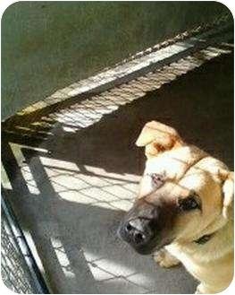 Boxer Mix Dog for adoption in Henderson, North Carolina - Sam