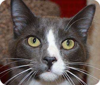 Domestic Mediumhair Cat for adoption in Phoenix, Arizona - Basil