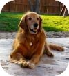 Golden Retriever Dog for adoption in St Louis, Missouri - Rugby