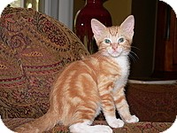 Domestic Shorthair Kitten for adoption in Tampa, Florida - Gizmo