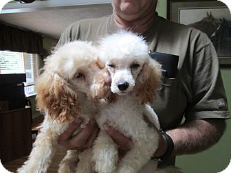 Poodle (Toy or Tea Cup) Mix Puppy for adoption in batlett, Illinois - Poodles