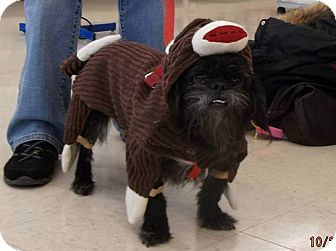 Brussels Griffon/Shih Tzu Mix Dog for adoption in Mentor, Ohio - KNOX