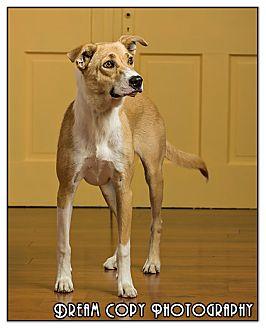 Shepherd (Unknown Type)/Labrador Retriever Mix Dog for adoption in Owensboro, Kentucky - Molly