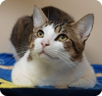 Domestic Shorthair Kitten for adoption in Medford, Massachusetts - Baxter