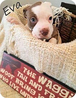 Pit Bull Terrier Puppy for adoption in Austin, Texas - Eva