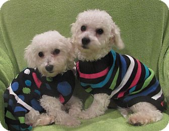Bichon Frise Puppy for adoption in Barneveld, Wisconsin - Polly and Doogie