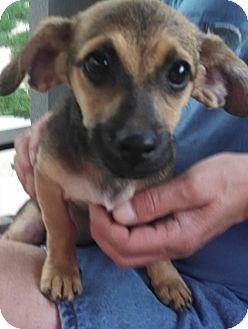 Dachshund/Chihuahua Mix Puppy for adoption in temecula, California - Pepper