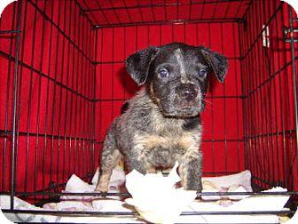 Pointer/Beagle Mix Puppy for adoption in Newburgh, Indiana - Firecracker Pendin
