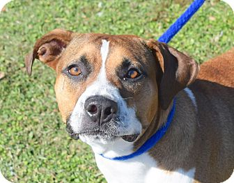 Boxer Mix Dog for adoption in Wilmington, North Carolina - Garth