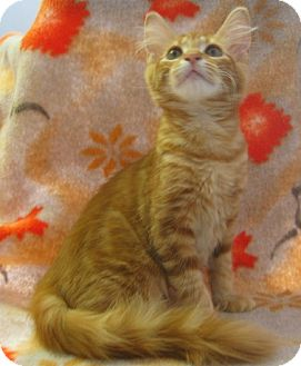 Maine Coon Kitten for adoption in Fayetteville, Georgia - Blossom