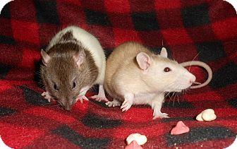 Rat for adoption in Philadelphia, Pennsylvania - BINKY and TINKY