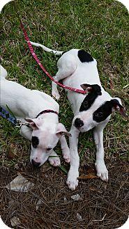 Pointer Mix Puppy for adoption in Jacksonville, Florida - Watson