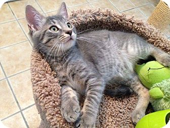 Domestic Shorthair Kitten for adoption in Hamilton, New Jersey - PAIGE aka PEACHES