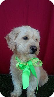 Terrier (Unknown Type, Small)/Poodle (Miniature) Mix Dog for adoption in Corona, California - TOMMY