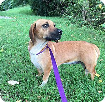 Beagle/Dachshund Mix Dog for adoption in Foster, Rhode Island - Bessie (Reduced Fee)