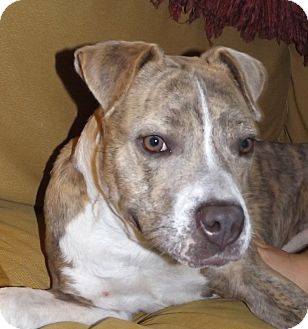 Boxer Mix Dog for adoption in Nashville, Tennessee - Nonna
