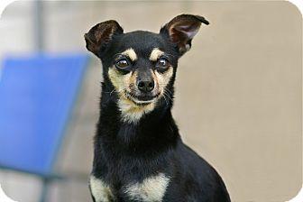 Miniature Pinscher/Chihuahua Mix Dog for adoption in Coronado, California - Pablo