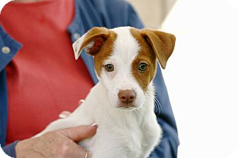 Terrier (Unknown Type, Small) Mix Puppy for adoption in Coronado, California - Freddy