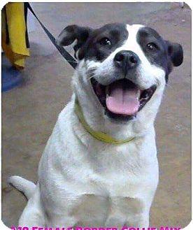 Border Collie/Labrador Retriever Mix Dog for adoption in Staunton, Virginia - Ice