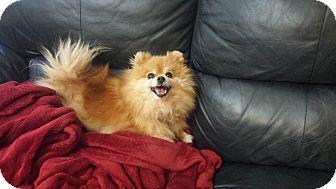 Pomeranian Dog for adoption in Sacramento, California - river