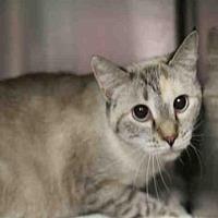 Siamese Cat for adoption in Salt Lake City, Utah - *ARIZONA*