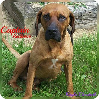 Redbone Coonhound Mix Dog for adoption in Sparta, Kentucky - Captain