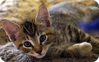 Domestic Shorthair Kitten for adoption in Maynardville, Tennessee - Thing 1