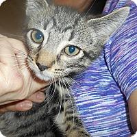Adopt A Pet :: Stripey boy - Parkton, NC