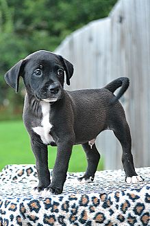 Labrador Retriever/Border Collie Mix Puppy for adoption in Allentown, Pennsylvania - Stark