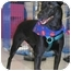 Photo 2 - Australian Cattle Dog/Labrador Retriever Mix Puppy for adoption in LaFayette, Alabama - markie