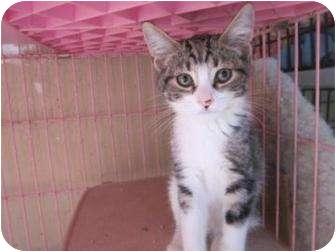 Domestic Shorthair Cat for adoption in Tucson, Arizona - Playboy